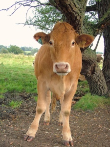 Brown cow standing with legs splayed.