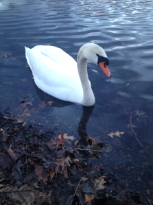 A swan swimming on the edge of a river.